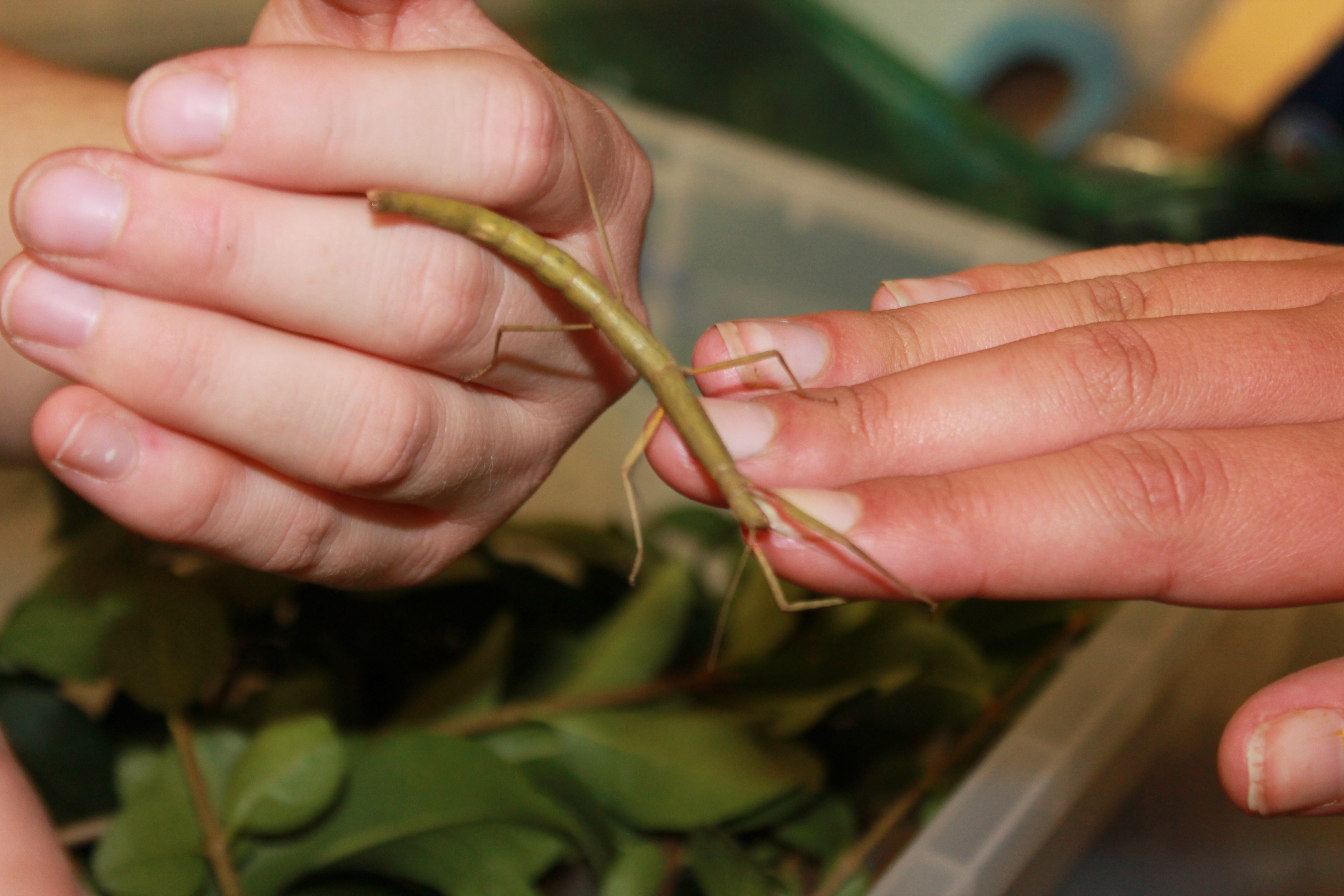 Animal school visits, Doncaster pupils holding stick insects