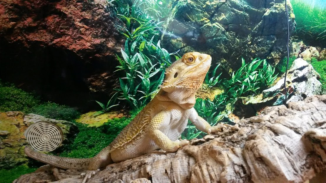 bearded dragon in vivarium