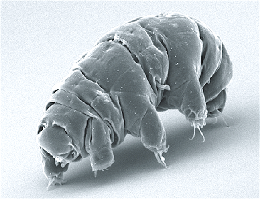 the water bears are creatures up to 1.2 mm long!