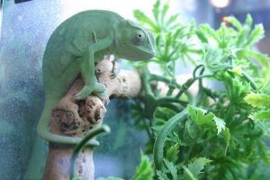 Chameleon is a fascinating lizard