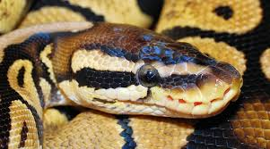 Are ball pythons being traded out of existence