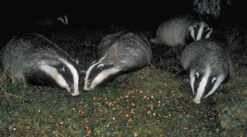 How to Stop the Badger Cull Coming to Derbyshire