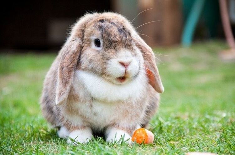 lifespan of pet rabbits